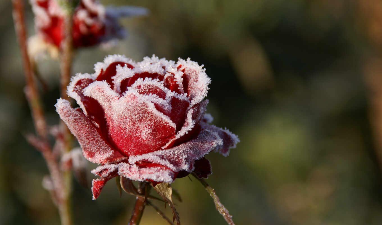 широкоформатные, роза, иней, природа, цветы,