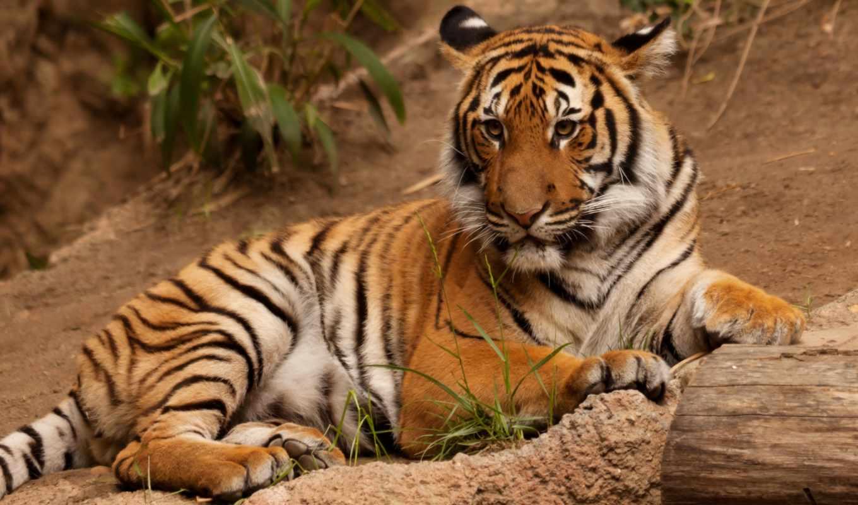 окапи, rainforest, тигры, регистрации, без,