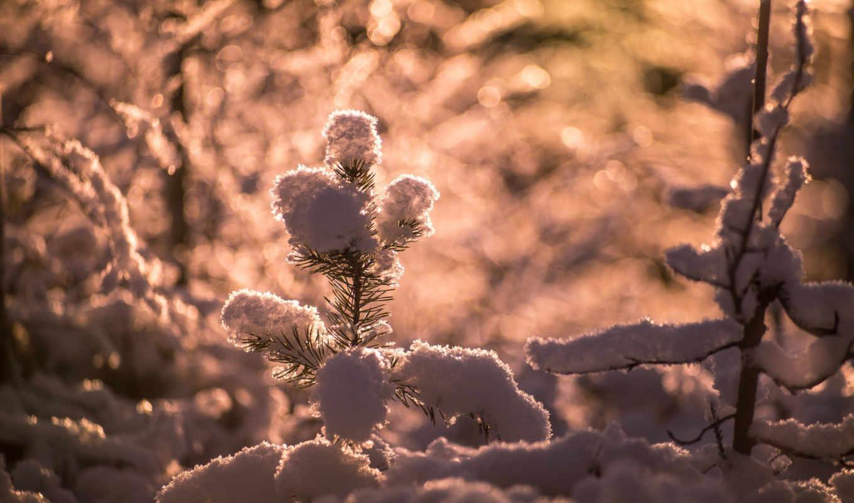 хвоя, иголки, снег, branch, макро, хвоя, коллекция,