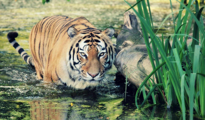 wild, тигр, documentary, zhivotnye,