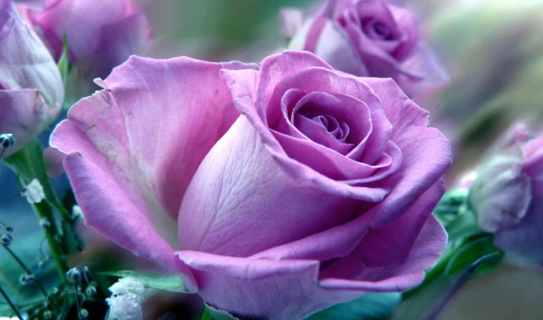 розы, цветы, роза, доставка, фотопанно, цветов, лепестки,