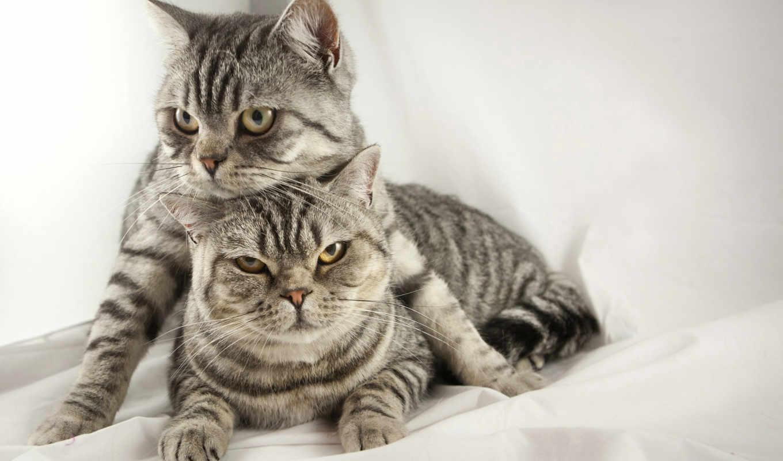 tapety, brytyjski, kot, коты, tapet,