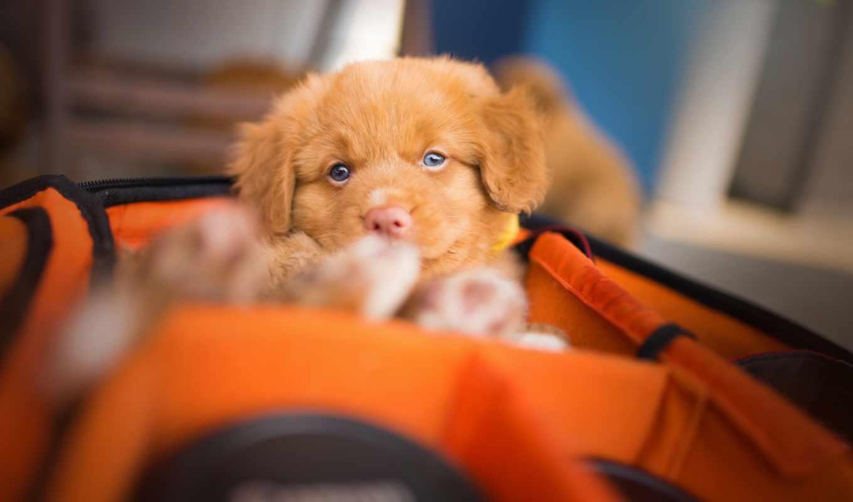 retriever, tolling, утка, scotia, nova, щенок, собаки, взгляд,