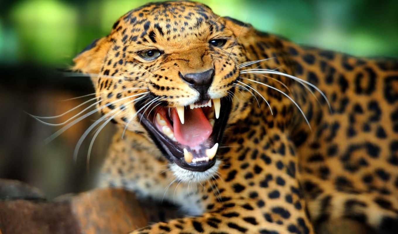 хищник, кошки, большой, яndex, third, jaguar, zhivotnye, америки, южной, коллекциях,