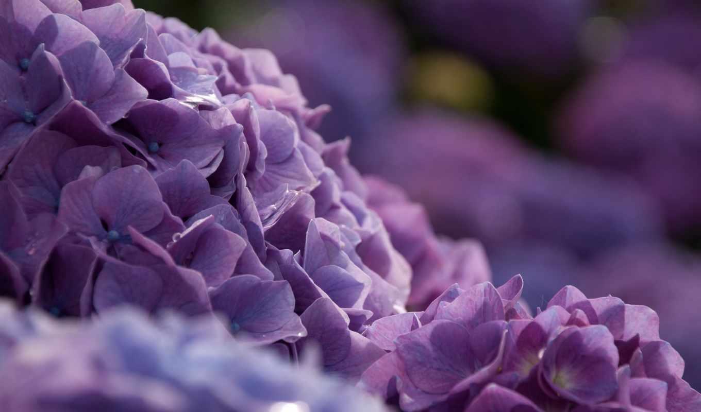 куст, цветы, гортензия, боке, макро,