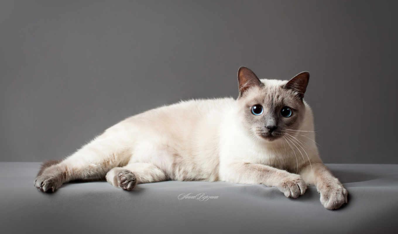 кот, thai, тайская,