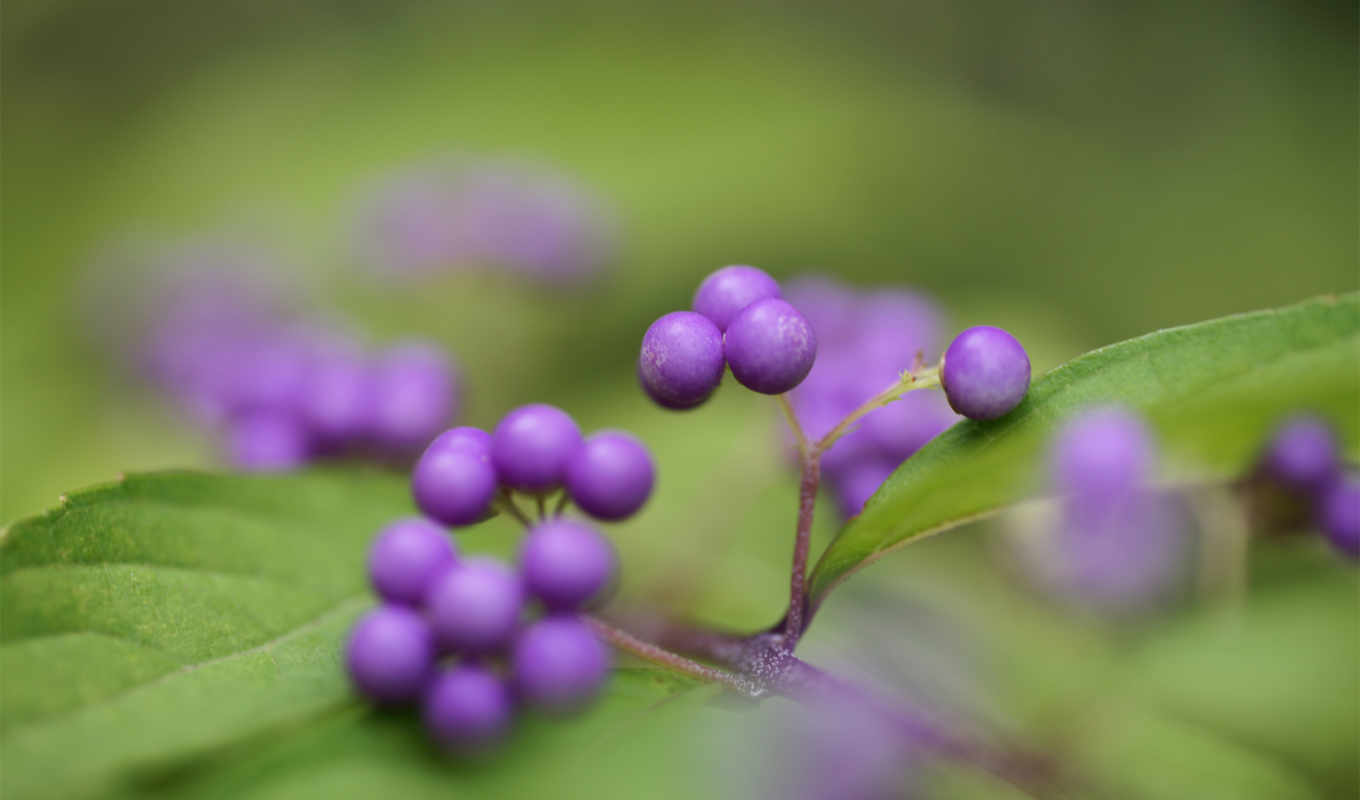 desktop, flowers, callicarpa, фотографий, калликарпа, berries, purple,