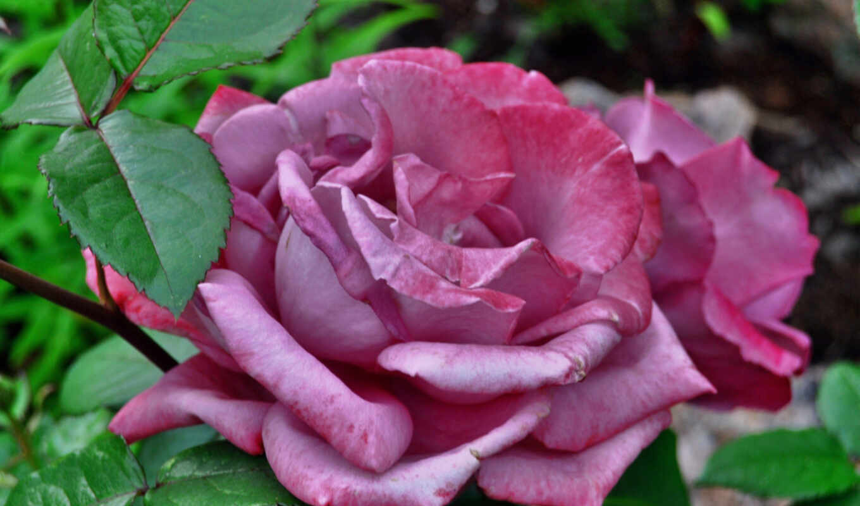 чая, hybrid, roseshybrid, david, austin, rosesgibridnyi, royal, роза, oir, сток