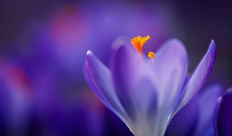 фиолетовые, цветы, макро, крокусы, flowers,