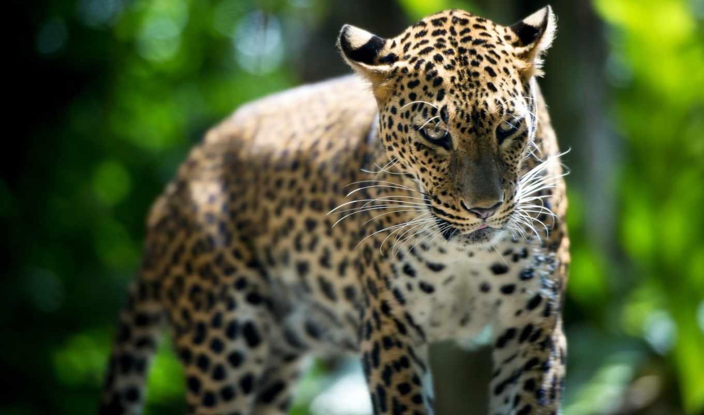 leopard, животные, зверь, zoo, singapore, природа, кошки,