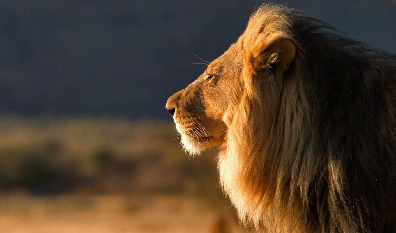 lion, телефон, profile,
