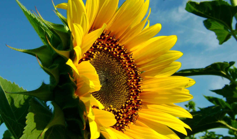 подсолнух, желтый, подсолнухи, небо, priroda,