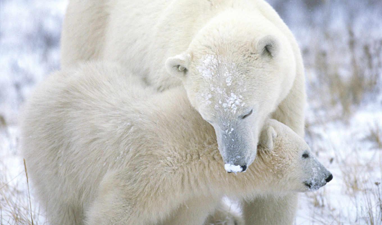 медведь, winter, дек, zhivotnye, снег, polar,