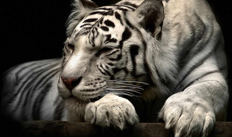 тигр, white, татуировка, angry, тигры,