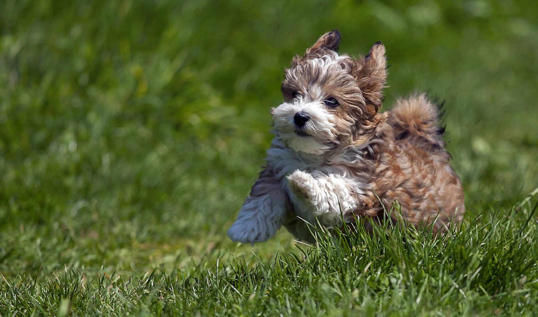 собака, small, breeds, dogs, havanese, порода, smallest, little,