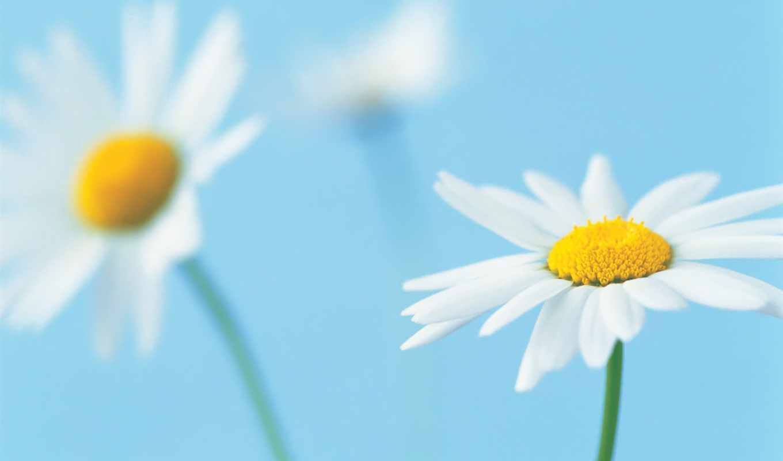 ромашка, лепестки, белые, цветок, макро, голубой, flowers, plants, white, фоне, daisies, plant, голубом,