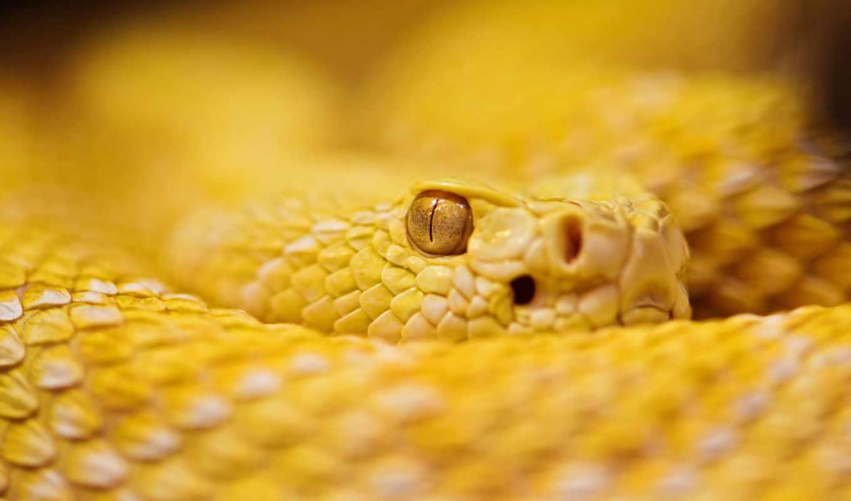гремучая, змея, чешуя,