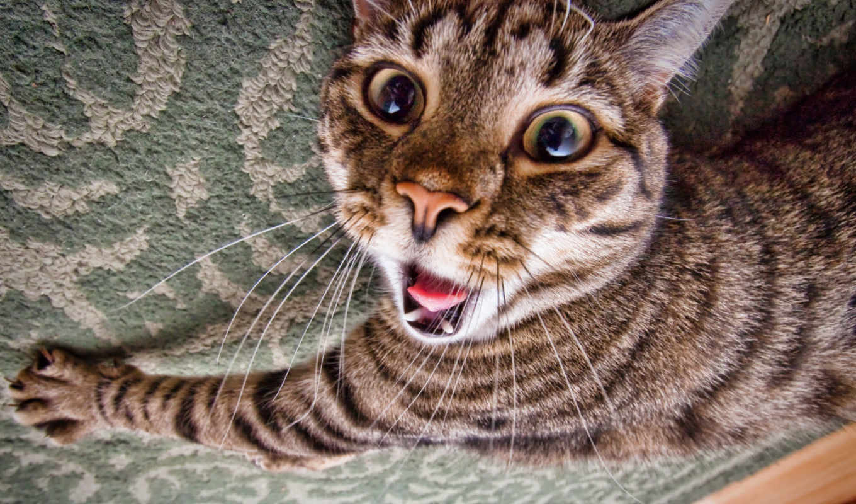 кот, кошки, сумасшедший, февр,