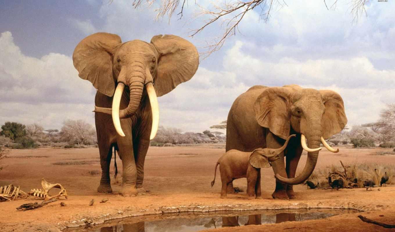 слон, elephants, desktop,