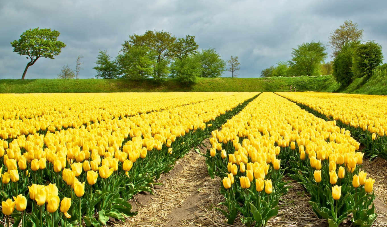 tulips, yellow, качестве, cvety, разрешений, высоком, отличном, желтые, kartinka,