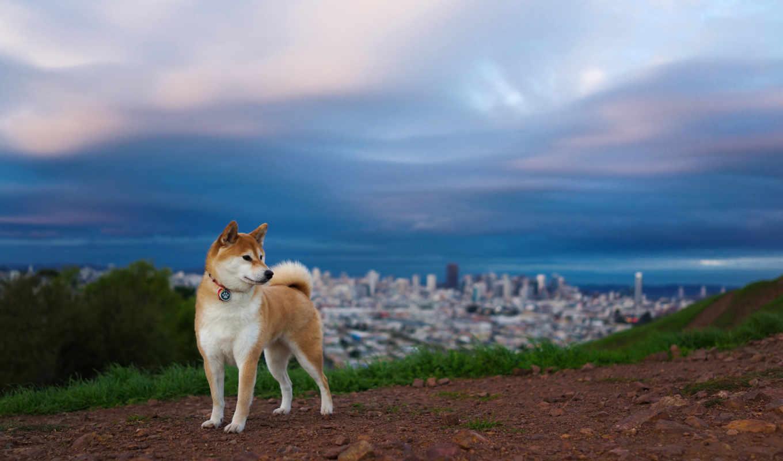 акита, shiba, собака, порода, хатико, собаки, породы, собак, сиба,