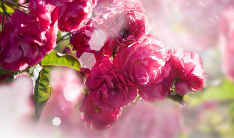 flowers, цветы, stock, garden, весна, розы, розовые,