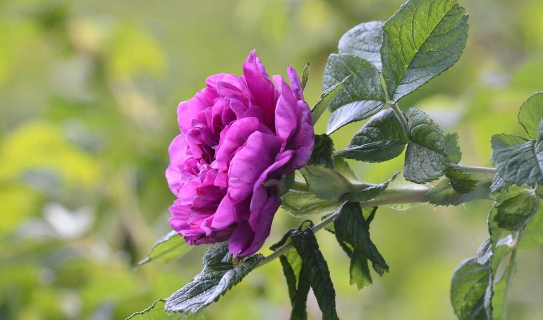 розовый, листья, качества, cvety, качестве, разрешений, высоком, цветок,