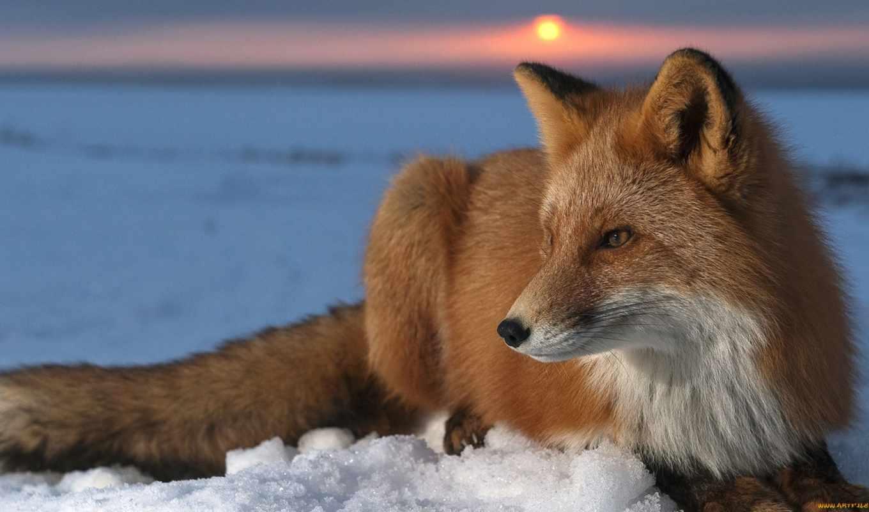лиса, животные, рыжая, лисы,