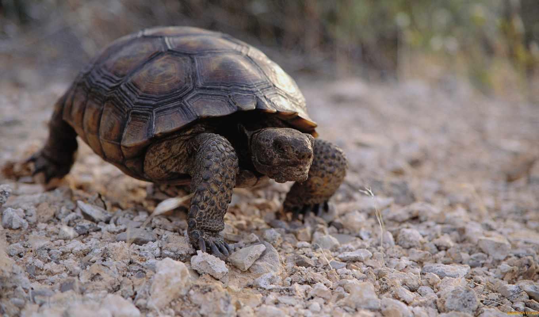 пазл, черепаха, противоположности, лига, янв,