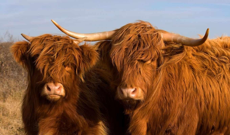 cow, шотландская, высокогорная, animal, было, июня, выведено, коровы, жителями, лохматое, которое,