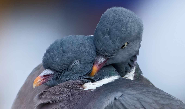 pair, голуби, весна, birds, love, dove,