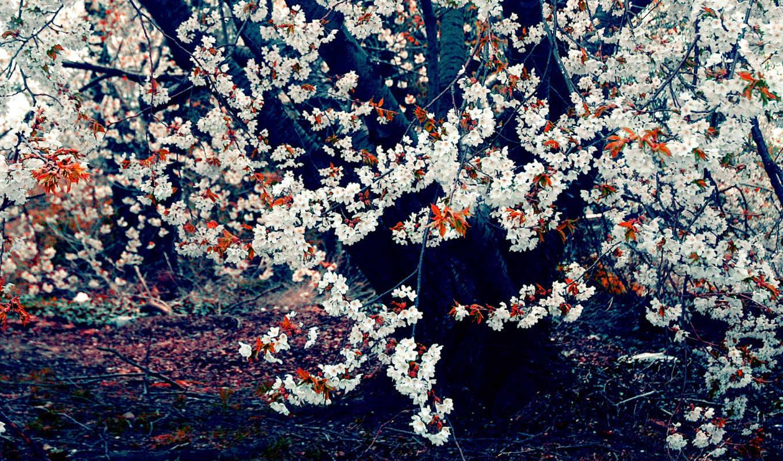 дерево, лес, احلا, صور, çïò, wallpaper, cherry, цветущее, blossom, wallpapers, цветы, поле, деревья, водопады, весна, hd, çâê, цветущие, شکوفه, цветение, photography, fleurs, بهار, одно, زهور, осень,