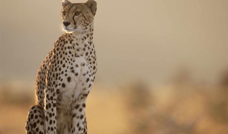 cheetah, cheetahs, masai, символ, mara, скорости, cat, pack, looking, животные, animal, kenya,