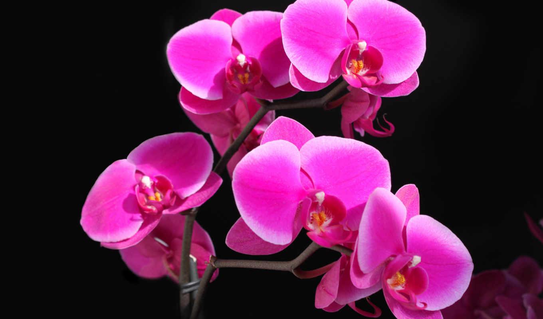 фаленопсис, орхидея, малиновая, красота, картинка, цветы, картинку, нежный, розовый,