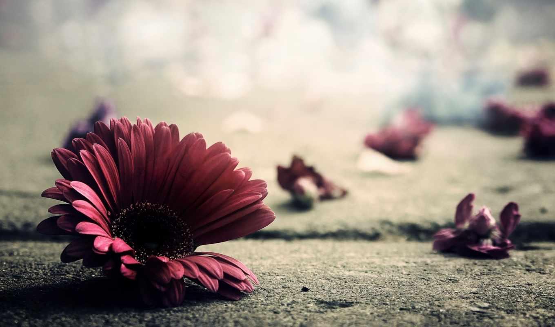 гербера, цветок, лепестки, макро, асфальт, земля, красный, flowers, темно, last, petals, free,
