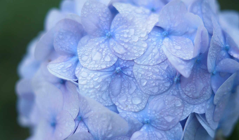 гортензия, синяя, капли, роса, макро, соцветие