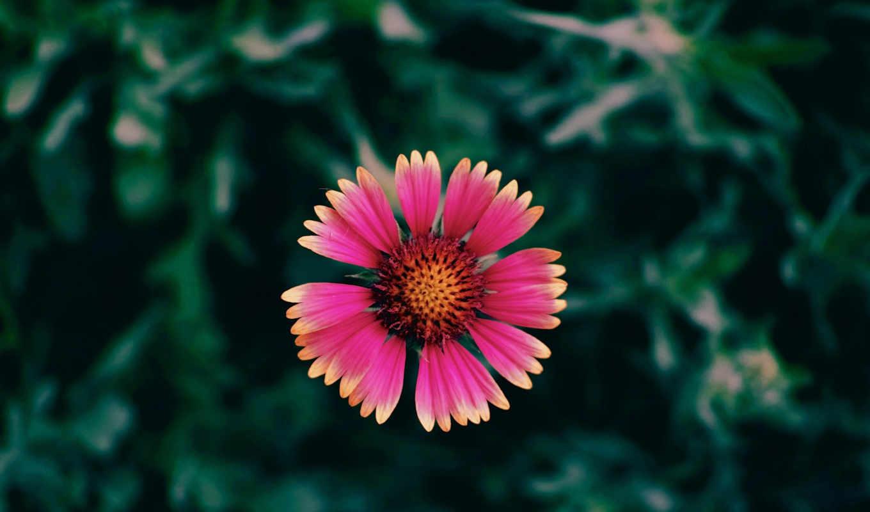 цветок,красный,зелень,макро,