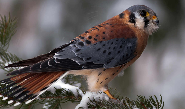 falcon, животные, kestrel, птицы, крылья,