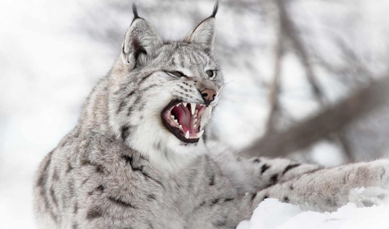 рысь, хищник, ухмылка, зубы, снег, winter, животные, кот,