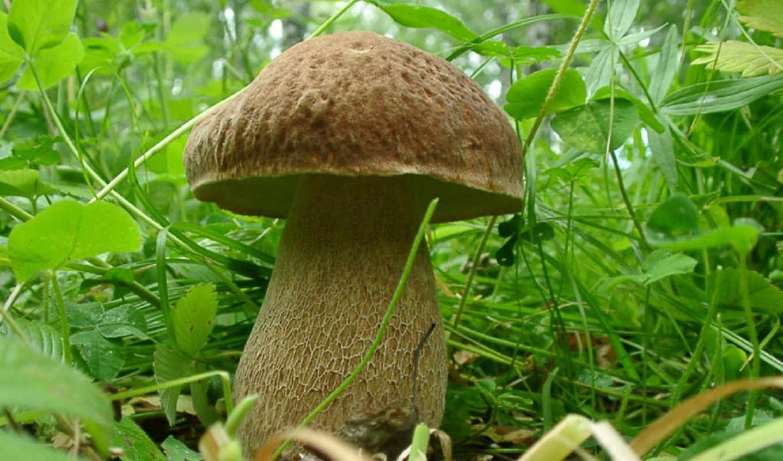 tapety, pulpit, grzyby, borowik, las, tapet, liście, grzyb, tapeta, ładny,