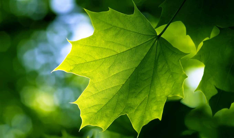 leaf, зелёный, free, лист, природа, this,