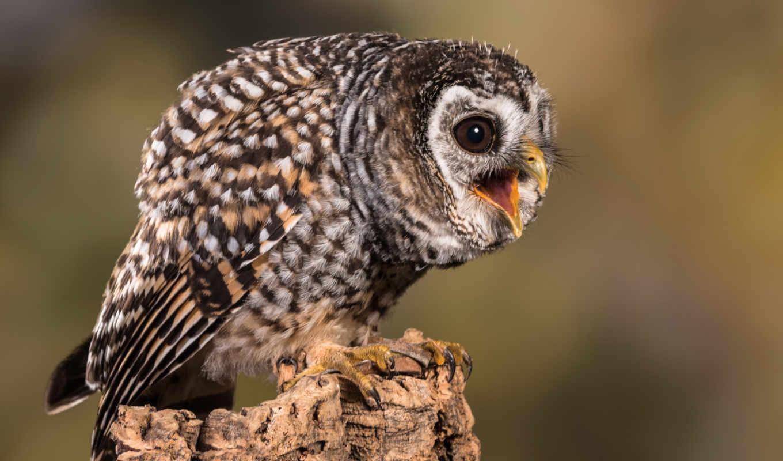 chaco, сова, zhivotnye, america, paraguay, аргентина, совообразные, птицы, совы,