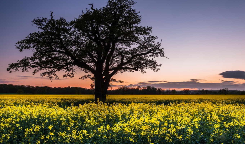 пейзаж, поле, рапс, дерево, картинка, природы, картинку,