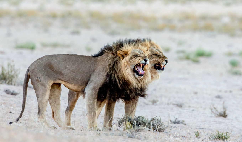 животные, большие, кошки, морда, львы, взгляд, рык, lion, ухмылка,