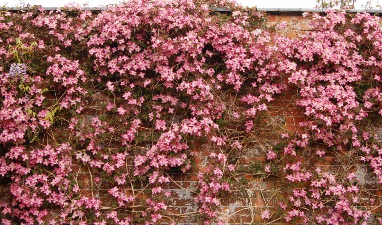 клематис, цветы, ломонос,