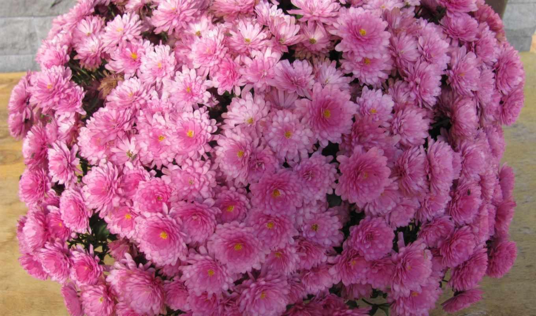 природа, balloon, категории, телефон, розовый, chrysanthemums, flowers, планшетный, ноутбук,