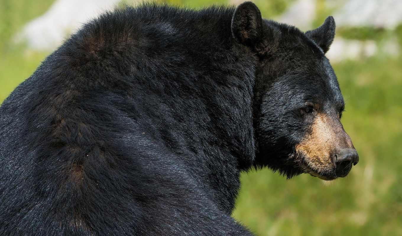 медведь, зверь, барибал, хищник, black,