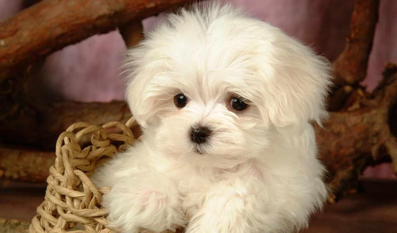 щенок, maltese, собака, white, cute