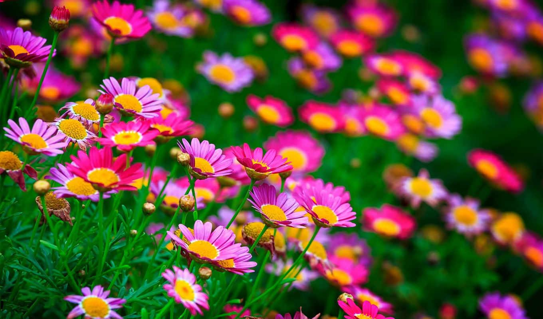 цветы, природа, summer, поляна,