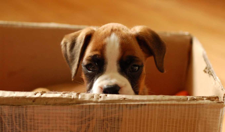 собаки, собак, зооклубе, german, take, boxer, собаку, породы, щенка, приюта,